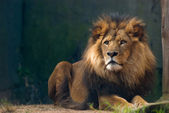 Portrait of a lion king — Stock Photo