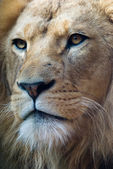 Portrait of a lion king — Stock Photo