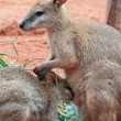 Mother and Baby Kangaroos — Stock Photo #6232280