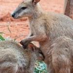 Mother and Baby Kangaroos — Stock Photo