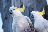 Cockatoos — Stock Photo