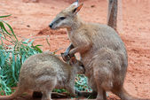Mother and Baby Kangaroos — Stock Photo
