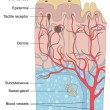 Human skin anatomy illustration - Stockvectorbeeld