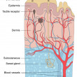 Human skin anatomy illustration — Stockvectorbeeld