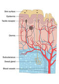 Human skin anatomy illustration — Vettoriale Stock