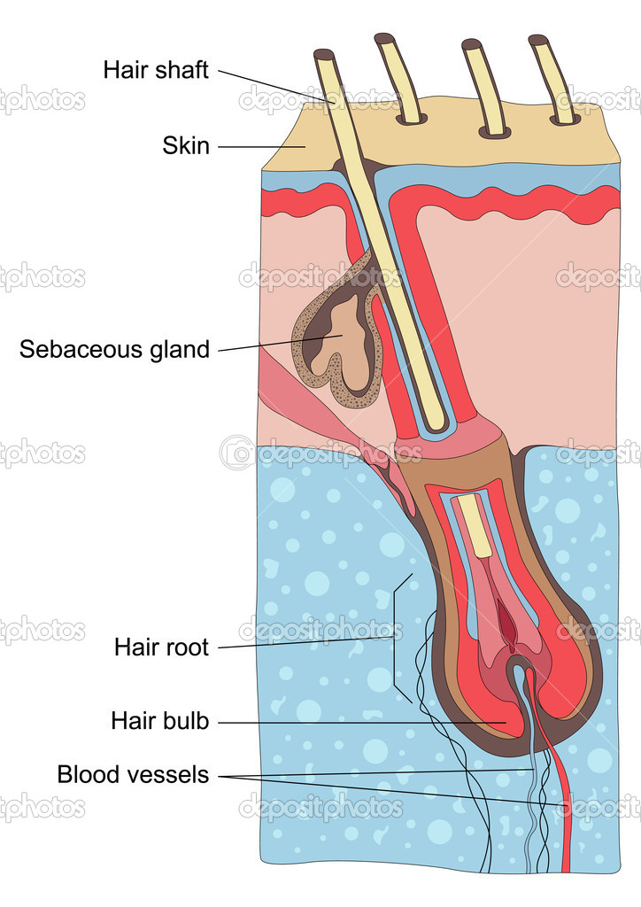 Human hair structure anatomy illustration vector — Векторная иллюстрация #6744670