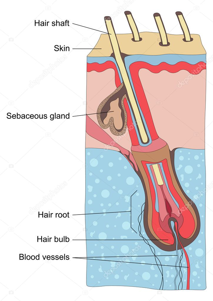 Human hair structure anatomy illustration vector — Stockvektor #6744670