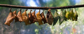 Cocoons of butterflies — Stock Photo