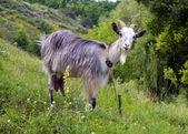 Goat on the slopes — Photo