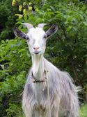 Goat staring straight — Stock Photo