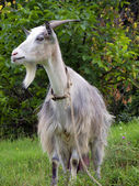 Goat with beard — Stock Photo