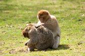 Barbary Monkey Grooming — Foto de Stock