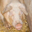 Stock Photo: Adult Sow
