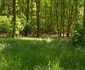 Bluebell Wood — Stock Photo