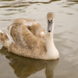 Stock Photo: Cygnet