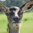 Stock Photo: Close Deer