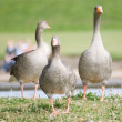 Geese by lake — Stock Photo