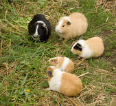 Group of Guinea Pigs — Stock Photo