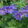 Stock Photo: Hardy Geranium