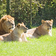Stock Photo: Pride of Lions