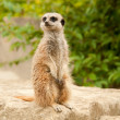 Royalty-Free Stock Photo: Alert Meercat