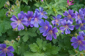 Hardy Geranium — Stock Photo