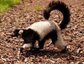 Walking Lemur — Stock Photo