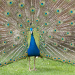 Displaying Peacock — Stock Photo