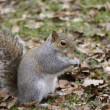 Squirrel in the woods — Stok fotoğraf