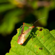 Stock Photo: Stink Bug