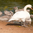 Swan with her chicks - Stock Photo