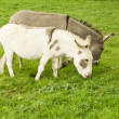Stock Photo: Grazing Donkies