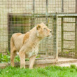 Lioness in captivity — Stock Photo #6118305
