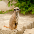 Stock Photo: Watchful Meercat