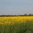 Oil Seed Rape Field — Stock Photo