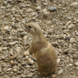 Prairie Dog — Stock Photo #6119676