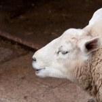 Sheeps Head — Stock Photo #6119793