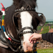 Stock Photo: Shire Horse
