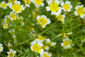 Poached Egg Plant (Limnanthes) — Stock Photo