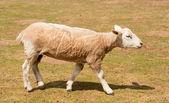 せん断羊 — ストック写真