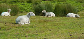 Moutons au repos — Photo