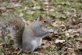 Squirrel in the woods — Stock Photo