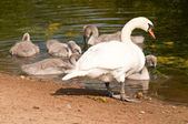 Swan with her chicks — Stock Photo