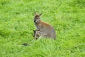 Wallaby and Baby — Stock Photo