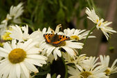 Red Admiral Butterfly on white flower — Stock Photo