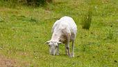 Pastva stříhanou ovčí — Stock fotografie