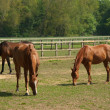 Horses in paddock — Stock Photo
