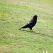 Crow close — Stock Photo