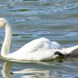 Royalty-Free Stock Photo: Swan close