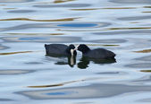 Coot Couple — Stock Photo